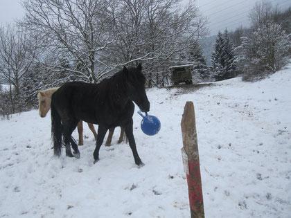 weiter geht's mit dem Spielen - die Junghengstherde im Thüringer Wald - gemeinsam mit den Cousins sozusagen darf Don noch ein paar Monate einfach nur Pferd sein - Morgan Nachwuchs des Gestüts Boxberg in Floh-Seligenthal