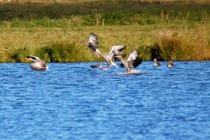 Graugänse landen auf einem neuen Gewässer.Die Graugans ist einer der  Gewinner in der Vogelwelt in der Umgebung Elmshorns.Sie profitiert von der zunehmenden Nährstofffracht in den Gewässern und in der Landschaft.Foto: C.Dammann