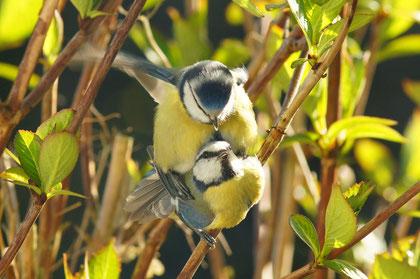 Blaumeisen kannst du fast in jedem Garten beobachten - Foto: Cl. Dammann