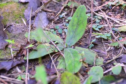 センブリの根生葉です。                               特徴は真ん中の葉脈が白いこと。この個体は目立っていない。