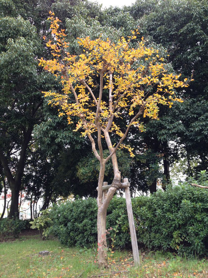 サルスベリも黄色い葉になり落葉していく