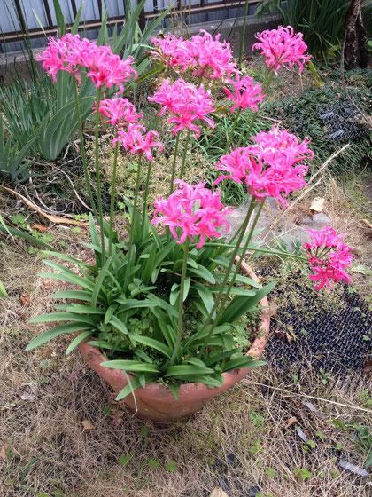 11月20日に咲いている花 リコリスかネリネのどちらかだと思います。