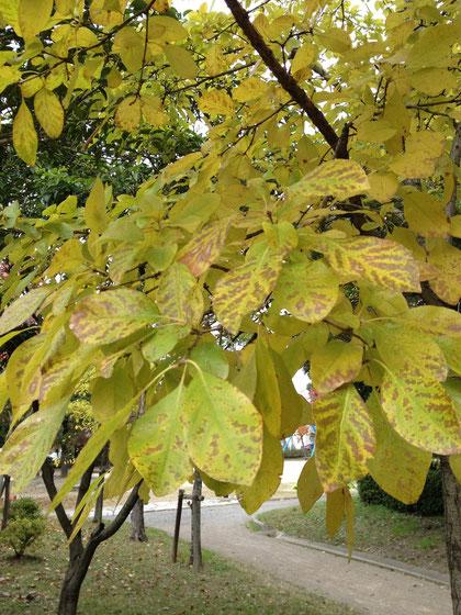 ナンジャモンジャ 葉は黄色くなっていきます