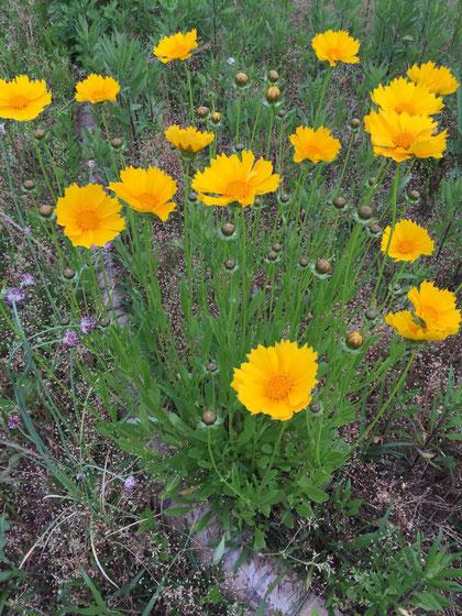 2006年に特定外来生物に指定されたオオキンケイギク キク科の宿根草で繁殖力が強い