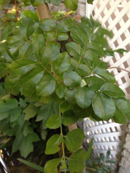 株立ち樹形に仕立てられて葉っぱの小さい常緑樹はシマトネリコとソヨゴくらいしかない。