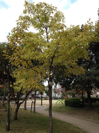 ヒトツバタゴ 別名:ナンジャモンジャ 守山区では結構街路樹に使われています