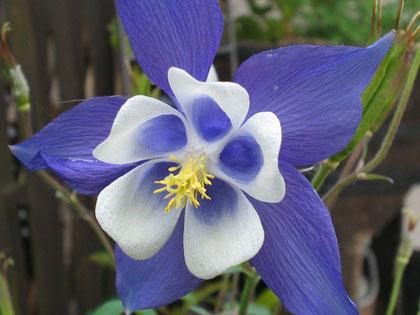 """... senso simbolico, secondo """"la Montagna incantata"""", del fiore alpestre """"aquilegia"""" ..."""