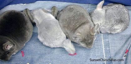 De izquierda a derechoa: Violeta velvet, Viofire, Violeta, Safiro. Fuente: Chinchillassanmartin.es.tl