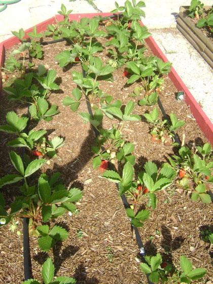 jeunes fraisiers sous B.R.F