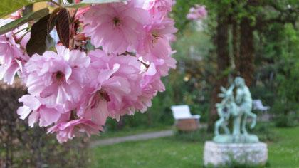 Zierkirsche: Blüht mit Eifer
