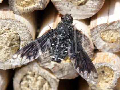 Bild: Trauerschweber, Anthrax anthrax, eine parasitierende Fliege