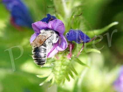 Bild: eine auf Natternkopf spezialisierte Wildbiene
