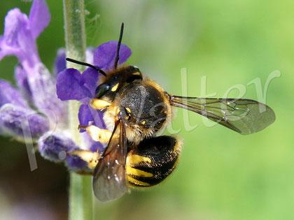 10.06.2016 : erste Wollbiene am Lavendel