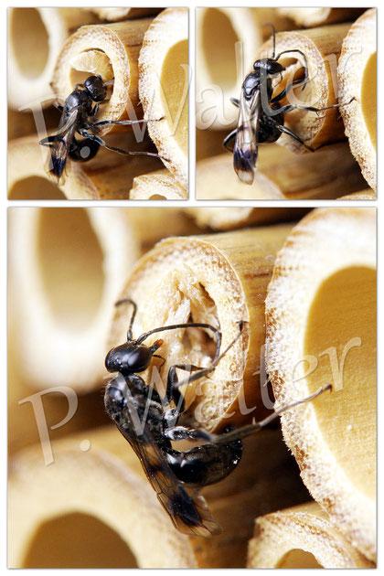 18.07.2014 : Grabwespe (die die die Spinnen bevorratet) beim Verschließen ihrer Brutröhre