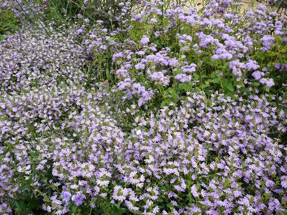 Ein blau-violettes Blütenmeer im Container-Beet
