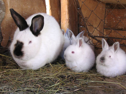 """Lapins dont les 2 à droite sont touchés par l'albinisme. Le lapin de gauche est """"normal"""". Sources: wikipédia."""