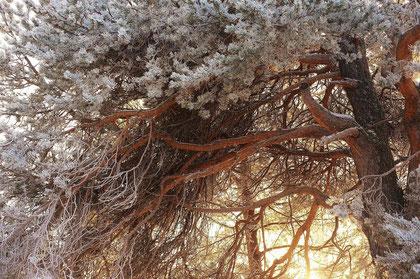 サクラのよう。樹氷が美しい。でも、・・松の木です、これ。樹齢500年以上と聞きました。まただまされてるのか・・・?
