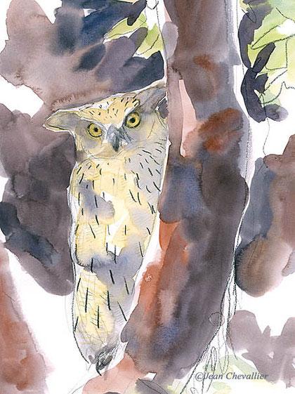Ketupa (hibou pêcheur) aquarelle Jean Chevallier