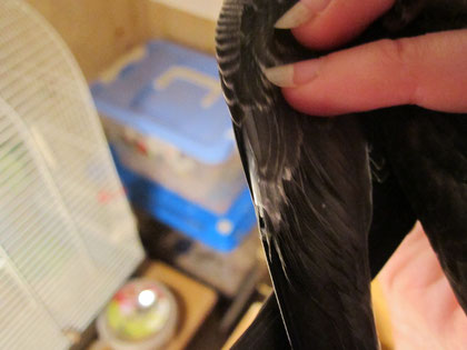 Этот стрижонок еще не готов к полету: с внутренней стороны крыла видны трубочки