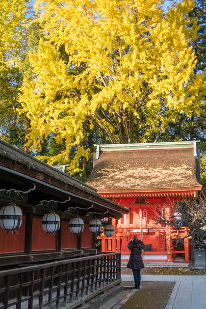 京都・北野天満宮の銀杏