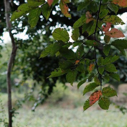 柿の葉が色づいてきました
