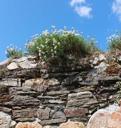 Auch ein Mauerblümchen kann dem Himmel nah sein. Foto: Konder