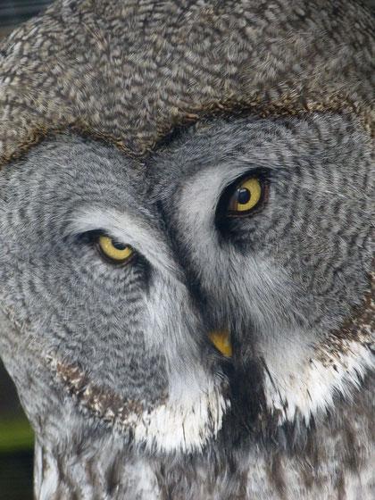 Der Schwarzwaldzoo beherbergt eine beeindruckende Vielfalt von Eulenvögeln. Verschiedene Uhus und Eulen können die besucher auch in einer großen, begehbaren Voliere erleben.