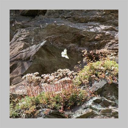 fliegend über dem Weißen Mauerpfeffer, seiner Wirtspflanze