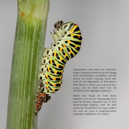 Abbildungen aus: 'Die Schmetterlingsentwicklung' - (siehe 'Shop')