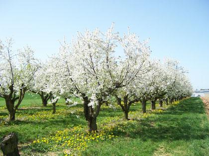 Sauerkirschenblüte