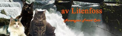 Norwegische Waldkatzen av Litenfoss
