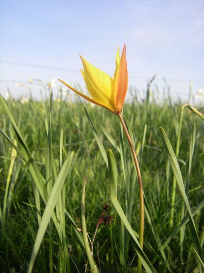 Une tulipe de Celse, peu commune apparemment.