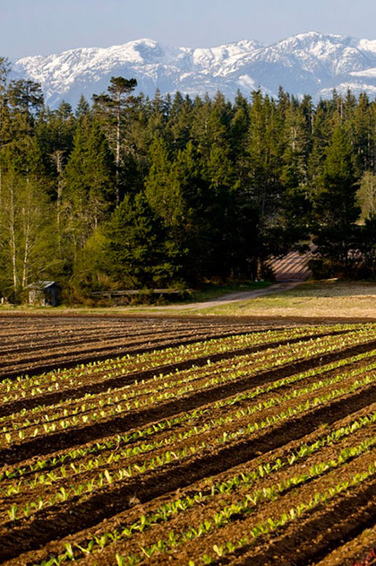 Rows of lettuce grown on a farm in the Comox Valley with snow covered mountains above them.
