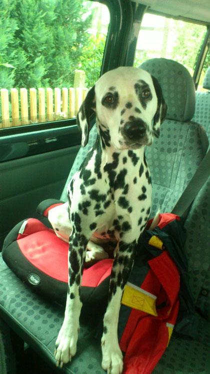 Galina vom Furlbach Safty first....sicheres Autofahren für den Hund...28 April 2016