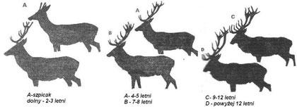 Sylwetki byków