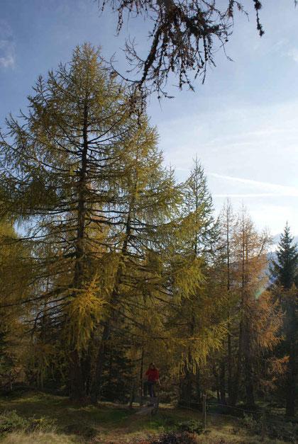 Durch lichten Lärchenwald geht es höher