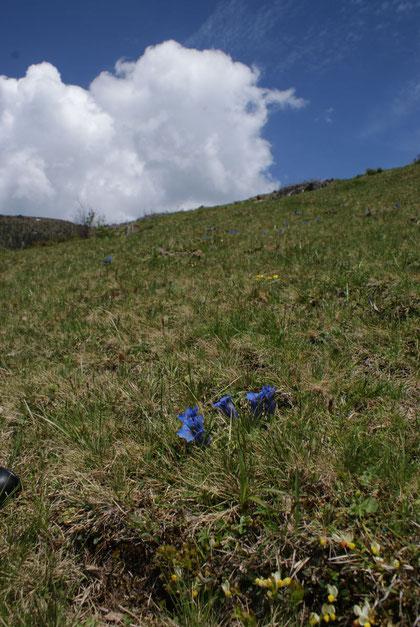 Auf den Almwiesen steht der Enzian in voller Blüte