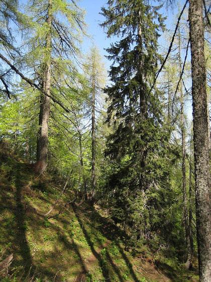 Auf einem kleinen Steig wandert man durch Lärchenbestände Richtung Gipfel