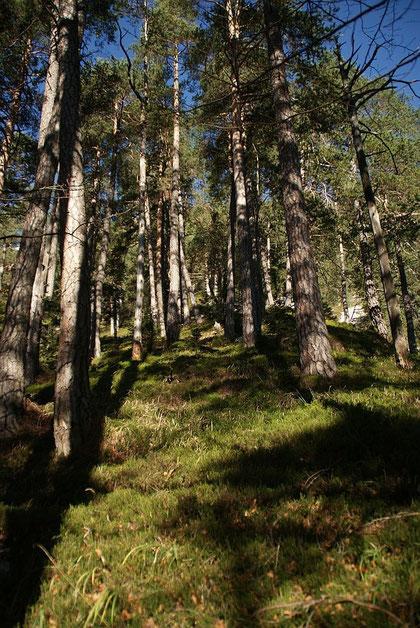 Beim steilen Aufstieg durch den herrlichen Föhrenwald