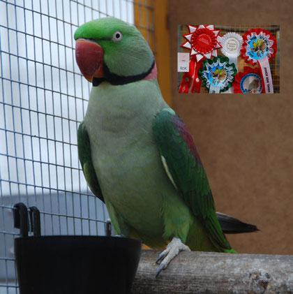 Siegervogel