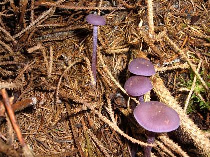 Violetter Lacktrichterling   Laccaria amnethysta    essbar