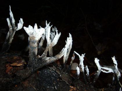 Geweihförmige Holzkeule Xylaria hypoxylon   ..wächst jetzt an Stümpfen und Ästen,häufig