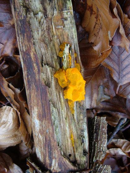 Goldgelber Zitterling   Tremella mesenterica    Unverwendbar,  Auch er ist ein typischer Winterpilz  ,an Laubholz