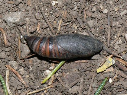 Hemaris fuciformis (Hummelschwärmer)