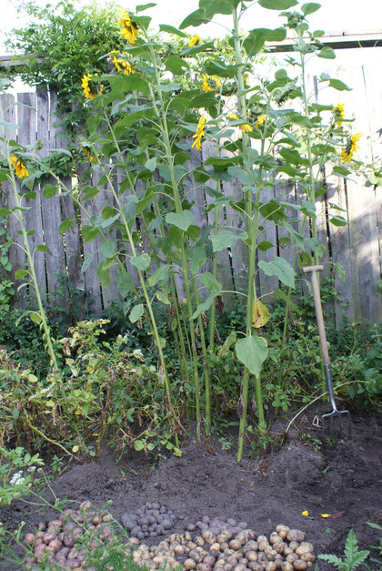 Die Sonnenblumen sind wild aufgegangen und schaden den Erdäpfeln nicht