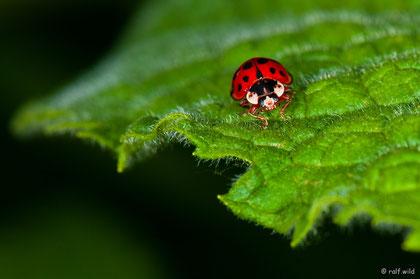 Ziel war es den winzigen Marienkäfer auf dem Blatt auch wirklich winzig erscheinen zu lassen.