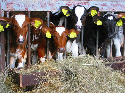 Ferien auf dem Bauernhof Eifel - Kälber