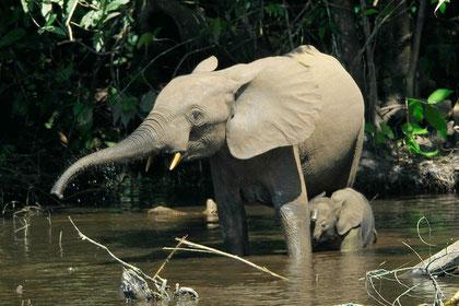 Waldelefant mit Baby