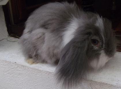 Saphir, bélier angora chinchilla liste blanche qui nous à quitter en avril 2012, repose en paix mon beau.