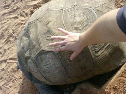 tortue Sulcata